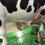 garçon qui trait une vache